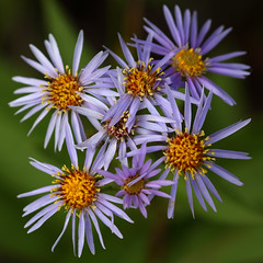 By The Side Of The Trail (AnyMotion) Tags: lindleysaster kanadischebergaster asterciliolatus aster blossom blte petals bltenbltter plants pflanzen floral flowers 2016 anymotion travel reisen terranostraguestranch chilcotinplateau caribooregionaldistrict britishcolumbia canada kanada colours colors farben purple lila yellow gelb 7d2 canoneos7dmarkii autumn fall herbst automne otoo square 1600x1600 ngc npc
