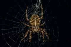 Spider (plainematthew) Tags: spider macro 300mm extension tubes no tripod tripodless nikon d7100 24mp crop sensor insect spiderweb silk