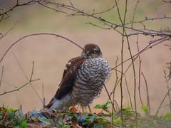 junger Sperber - young hawk (Sophia-Fatima) Tags: mygarden meingarten naturgarten jungersperber younghawk nikonflickraward biosphrenreservatschaalsee vogelschutzgebiet