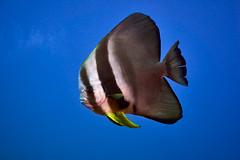 FLA-161001-ND800-8184 (ferlopez) Tags: batfish fish longfinbatfish marinelife plataxteira spadefish underwaterphotography wailea mauihawaii usa