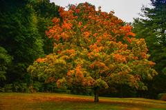 (craigdrezek9) Tags: autumn tree color orange change nature connecticut nikon d7100 nikkor fall farmington farmingtonct calming serene