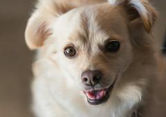 Cory Dog (dharperino) Tags: sanfrancisco ca portola cory dog portrait june neighbor sweet