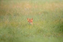 The Fox says good morning :) (derliebewolf) Tags: fuchs sugetiere wildlife trebbin brandenburg deutschland de fox redfox