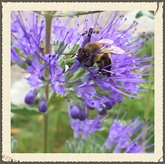 ~~ Bee by work ! ~~ (Rosa Dik 009 -- catching up !) Tags: busybee colors composition light frame iphone6s flickr loweraustria photographystudy macro autumn