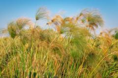Okavango Delta Papyrus (Kayla Stevenson) Tags: africa moremigamereserve papyrus