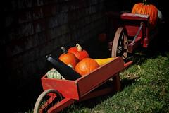 Pumpkins to go (halifaxlight) Tags: canada novascotia annapolisvalley windsor howarddillfarm pumpkins zucchini wheelbarrows antique sunny orange green barn fall autumn squash