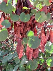 Seed pods (Needleloca) Tags: 2016 newmexico albuquerque botanicalgarden biopark notourgarden seedpods ribbet newmexico2016