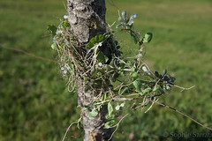 couronne végétale (sophie74120) Tags: végétal couronne arbustre vert