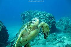 IMG_0088 copy (Aaron Lynton) Tags: lyntonproductions scuba diving snorkel underwater maui hawaii onebreath turtle honu hawaiiangreenseaturtle hawaiian greenseaturtle seaturtle canon g1x