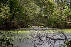Savannah Zoo Swamp (ek_design {Insa: ekdesign_us}) Tags: swamp green algae treea trees spanishmoss moss
