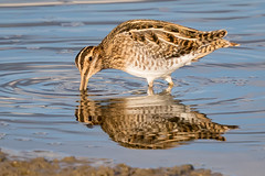 Snipe at sunset (ianjoseph273) Tags: snipe upton warren worcestershire wildlife trust wildfowl wader