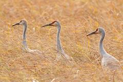 Three Wise Cranes (adriana johanna) Tags: crexmeadows wisconsin sandhillcranes family bird wildlife naturereserve