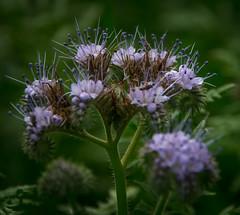 Bienenfreund (dieterkolm) Tags: bienenfreund pflanzen grndnger landwirtschaft dieter kolm