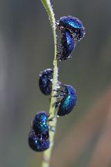 blue paradise (Xtraphoto) Tags: kfer blau blue bug beetle macro insekt nahaufnahme tier nature natur tropfen drops bubbles tau tautropfen