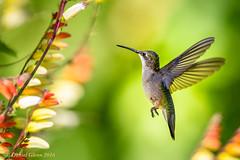 Pick a flower, any flower... (danielusescanon) Tags: brooksidegardens rubythroatedhummingbird bif archilochuscolubris birdperfect animalplanet wild flowers maryland