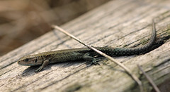 September Lizard! (RiverCrouchWalker) Tags: lizard commonlizard viviparouslizard seawall southwoodhamferrers fenncreek reptile september 2016 autumn evening sunbathing essex