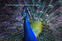Peacock_Taronga Zoo (himadri_chakraborty) Tags: peacock bird wildlife taronga zoo tarongazoo pavocristatus