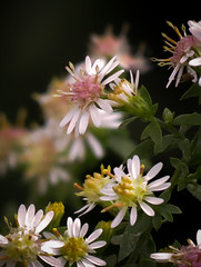 'Frost Aster' Flowers (mahar15) Tags: aster plant outdoors blooms flowers nature asterpilosus frostaster wildflower
