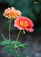 Roses - The Last Beauty (Ren Photography) Tags: eastlansing michigan unitedstates us