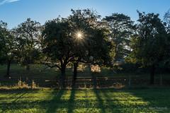 Morning sun (Zaphod Beeblebrox 1970) Tags: baum deutschland en enneperuhrkreis germany landschaft nrw sommer sonne sprockhvel sptsommer wiese zaun fence grass landscape meadow sun tree