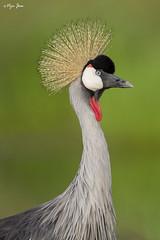 Grey crowned crane (V I J U) Tags: 2016 africa kenya masaimara nature safari travel vijujose wildlife narok ke greycrownedcrane crane birds birding canon5dmarkiii ef500mmf4lisii iucn endangered