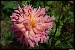 Fin de saison au jardin .... (florence.V) Tags: france hautsdefrance nord 59 salom jardin garden fleur flowers photoshop texture
