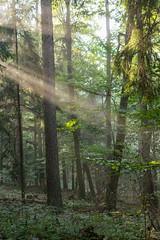 Spot an ! (thunderbird-72) Tags: allemagne autumn deutschland nebel herbst brouillard morgen germany automne wald september light morning matin fort forest fog lumire saarland licht morgenlicht mettlach de