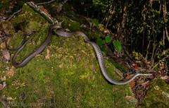 Northern Tree Snake (Dendrelaphis calligastra) (Mattsummerville) Tags: northerntreesnake dendrelaphiscalligastra snake colubrid julatten mountlewis mtlewis rainforest wettropics herping wildlife dendrolaphiscalligastra reptile