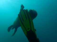 fin nibbles (richie rocket) Tags: scillies seasearch scillyisles cornwall uk underwater scuba diving