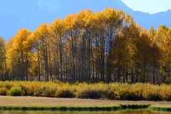 _DSC8379 (DianeBerky19) Tags: nikondf wy jacksonholewyoming trees aspen