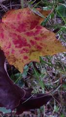 Still Pretty Signs of Distress - IMGP6467 (catchesthelight) Tags: fall foliage fallfoliage leaves colorchange boscawen light maple distress