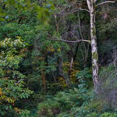 Splash Of Colour (RD400e) Tags: canon eos 5d mk3 ef 85mm f12 gitzo silver birch trees autumn peakdistrictnationalpark padley gorge derbyshire