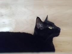(sftrajan) Tags: kitteatealounge cats kittycat felines gatos tabbies sanfrancisco blackcat