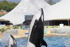 IMG_6915 (Bebelouga) Tags: orque marineland killerwhale orca