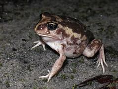 Moaning Owl Frog (Heleioporus eyrei) (Heleioporus) Tags: moaning owl frog heleioporus eyrei near walpole western australia