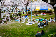 Hanami at Osaka (VariedReflections) Tags: japan japanese sakura osaka cherryblossoms blossoms travelflower hanami