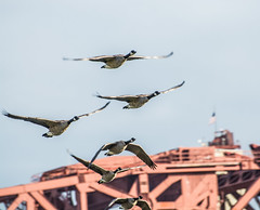 Over,not under. (Omygodtom) Tags: google geese bird bridge flickr flying urbunnature natural nature nikon d7100 abstract wild wildlife outdoors nikon70300mmvrlens