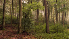 In the Woods (Netsrak) Tags: mist fog nebel haze dunst woods forest wald forst tree trees baum bume nature natur autumn herbst outdoor green grn landscape landschaft rheinbach nordrheinwestfalen deutschland de eifel