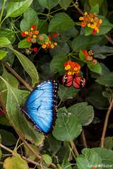 Morpho peleides / Heliconius melpomene (Manolo G.A.) Tags: morphopeleides heliconiusmelpomene canon 50d 18200 mariposa butterfly mariposario njar almera