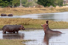 Yawning Hippo (My Planet Experience) Tags: hippo hippopotamus hippopotamusamphibius male yawning grass water riverbank wildlife animal nopeople day horizontal colourimage liwonde national park malawi mw southern africa myplanetexperience wwwmyplanetexperiencecom