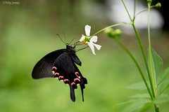 (Ming_Young) Tags: butterfly flora 2470mm taiwan nantou