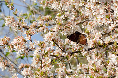 Mourning Cloak (LabradorEars) Tags: brown flower butterfly plumtree mourningcloak nymphalis nymphalisantiopa