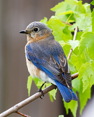Bluebird (Rich Terrell) Tags: birds
