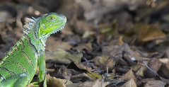 Green Iguana ((Iguana iguana) (Kristian Bell) Tags: wild green animal fauna canon bell florida reptile wildlife lizard exotic iguana kris kristian invasive 2013