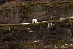 """Mountain Goat • <a style=""""font-size:0.8em;"""" href=""""http://www.flickr.com/photos/63501323@N07/8713115256/"""" target=""""_blank"""">View on Flickr</a>"""