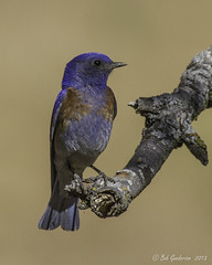 Western Bluebird (Bob Gunderson) Tags: california birds northerncalifornia ngc eastbay bluebirds westernbluebird sialiamexicana thrushes contracostacounty hennysanimals blackdiamondminesrp