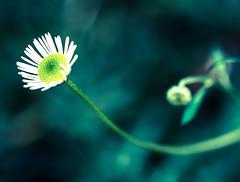 Emerging Beauty (marccrowther) Tags: flower nikon flowering bud 105mm tinyflower nikon105mmf28 105mmf28gvrmicro d7100 nikond7100
