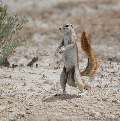 Bipedal Squirrel (Squirrel Girl cbk) Tags: park male standing squirrel african south tail ground national namibia bipedal etosha xerusinauris