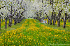 Cherry Orchard ... awesomeblossomness! (Ken Scott) Tags: usa white green yellow spring michigan may cherryblossoms hdr dandelions beehives leelanau supers twotrack 45thparallel 2013