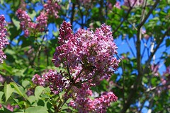 Central Experimental Farm Lilacs 004 (Chrisser) Tags: flowers ontario canada nature garden spring gardening ottawa fourseasons closeups lilacs syringa oleaceae centralexperimentalfarm canonefs1855mmf3556islens canoneosrebelt1i